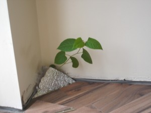 knotweed floor