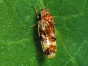 knotweed-louse